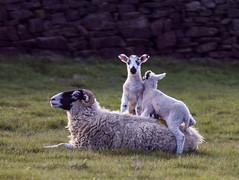 Sheep and Lambs on back 2 (PDKImages) Tags: animals farm farmanimals sheep wool field lamb lambs nature