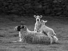 Sheep and Lambs on back 2 monochrome (PDKImages) Tags: animals farm farmanimals sheep wool field lamb lambs nature