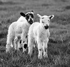 Lambs monochrome (PDKImages) Tags: animals farm farmanimals sheep wool field lamb lambs nature