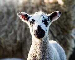 Lamb Portrait (PDKImages) Tags: animals farm farmanimals sheep wool field lamb lambs nature