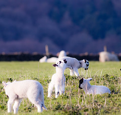 Chanelling the universe (PDKImages) Tags: animals farm farmanimals sheep wool field lamb lambs nature