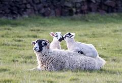 Sheep and Lambs on back (PDKImages) Tags: animals farm farmanimals sheep wool field lamb lambs nature