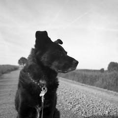 watching out (salparadise666) Tags: rolleiflex sl66 planar 80mm fomapan 100 boxspeed caffenol rs nils volkmer dog portrait 6x6 square medium format analogue film camera bw black white monochrome niedersachsen germany