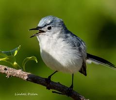 Blue-gray Gnatcatcher (Lindell Dillon) Tags: bluegraygnatcatcher neotropical birds birding nature oklahoma crosstimbers wldoklahoma