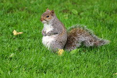 Chillin (Diane Marshman) Tags: graysquirrel squirrel large rodent gray white black fur bushy tail sitting sit grass green spring pa pennsylvania nature wildlife