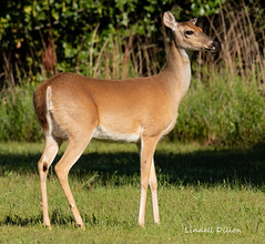 Whitetail doe (Lindell Dillon) Tags: whitetail deer doe wildlife nature oklahoma crosstimbers