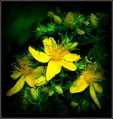 Natural Wonder (dimaruss34) Tags: brooklyn dmitriyfomenko image flower newyork celandine
