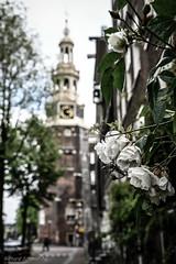 Amsterdam (De Hollena) Tags: amsterdam holland lespaysbas montelbaanstoren nederland niederlande noordholland nordholland roos rose thenetherlands rosa