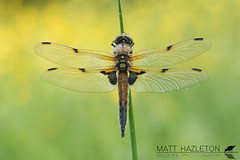 Four-spotted chaser (Matt Hazleton) Tags: dragonfly insect wildlife nature animal outdoor canon canoneos7dmk2 canon100mm 100mm eos 7dmk2 macro summerleys bcnwildlifetrust northamptonshire libellulaquadrimaculata fourspottedchaser chaser matthazleton matthazphoto