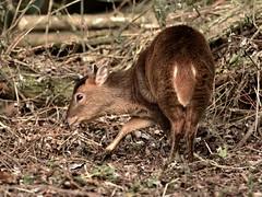 Muntjac (noelbarke) Tags: pensthorpe natural park norfolk deer woburn bedfordshire descendants escapees muntiacus reevesi dense undergrowth smallest british