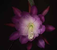 Clown Epiphyllum Hanging Out (Bill Gracey 23 Million Views) Tags: epiphyllum color colorful pink white sandiego fleur flower flor lastoliteezbox softbox offcameraflash macrolens floralphotography yongnuo yongnuorf603n epiphyllumhybrids orchidcacti flowershow clownepiphyllum purple outdoors