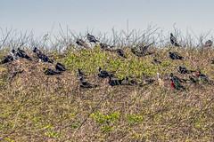 A Closer View of the Breeding Colony (helenehoffman) Tags: fregatamagnificens costaricapanama2019 conservationstatusleastconcern lslaiguana pacificocean iguanaisland aves panama uncruiseadventures bird wildliferefuge magnificentfrigatebird animal