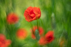 _DSC6096a (kymarto) Tags: bokeh bokehlicious bokehphotography dof depthoffield flowers flowerphotography nature naturephotography beauty beautiful sony sonyphotography sonya7r2 oldlens vintagelens canonltm50mmf12 poppies floral