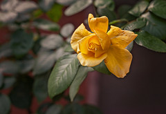 A rose for you (Pepenera) Tags: rosa rose flower fiore fleur flowers flor yellow