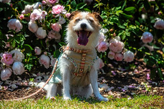 Smiling In the Rose Garden (moaan) Tags: senan osaka japan dog jackrussellterrier kinoko portrait dogportrait flower flowering flora rose garden rosegarden sitting waiting lookingatcamera focus foreground selectivefocus dof bokeh bokehphotography canoneos5dsr ef7020mmf28lisiiusm2x utata 2019