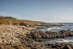 Iguana Island's Magnificent Frigatebirds (helenehoffman) Tags: fregatamagnificens costaricapanama2019 conservationstatusleastconcern aves magnificentfrigatebird iguanaisland lslaiguana panama wildliferefuge uncruiseadventures pacificocean bird animal