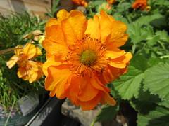 IMG_0093 (belight7) Tags: flowers bees nature garden centre uk berkshire england