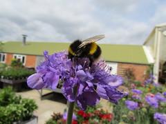 IMG_0094 (belight7) Tags: flowers bees nature garden centre uk berkshire england