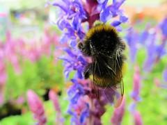 IMG_0092 (belight7) Tags: bees flowers garden centre uk england berkshire