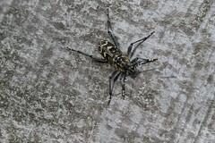 Mönchbruch Xylotrechus (Phil Arachno) Tags: germany hessen mönchbruch insecta arthropoda eos80d canon focusstacking cerambycidae bockkäfer