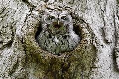 Eastern Screech Owl (kevinwg) Tags: eastern screech owl easternscreechowl tree bird mouth tongue