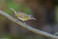 CA3I7854-Yellow-green Vireo (tfells) Tags: yellowgreenvireo bird nature wildlife mexico playadelcarmen vireoflavoviridis yucatan