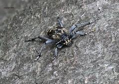 Xylotrechus on Fagus sylvatica (Phil Arachno) Tags: germany hessen mönchbruch insecta arthropoda eos80d canon focusstacking cerambycidae bockkäfer