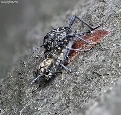 Xylotrechus mating (Phil Arachno) Tags: germany hessen mönchbruch insecta arthropoda eos80d canon focusstacking cerambycidae bockkäfer heliconfocus