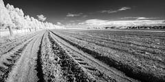 wy-yung-2259-ps-w (pw-pix) Tags: trees road fence dirt soil paddock ploughed tilled farm farming riverflats mitchellriverflats houses sky clouds walk walking cold autumn adaptedlens nikon142428afs nikkor1424mm128ged nikkor142428 nikon142428 bw blackandwhite monochrome sonya7 irconvertedsonya7 850nminfrared ir infrared alongthemitchellriver betweentheriverandthebackwater wyyung bairnsdale eastgippsland victoria australia peterwilliams pwpix wwwpwpixstudio pwpixstudio