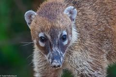 CA3I7685-White-nosed Coati (tfells) Tags: whitenosedcoati mammal mexico playadelcarmen nature wildlife nasuanarica yucatan