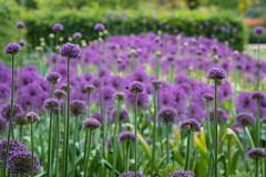 Allium field (tonybill) Tags: flowers gardens may miscellaneous nikkor105mmf25ai rhs rhswisley sonya7iii surrey wisley bokeh