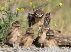 Burrowing Owlet wingercizing. (Sandrine Biziaux-Scherson) Tags: owl bird biziaux birds burrowing sandrine scherson california chicks owlet nature nest wildlife wild white