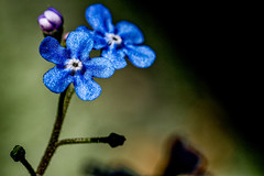 Myosotis (leeshelp) Tags: myosotia forgetmenot boraginaceae flower blue macro closeup leeshelp small