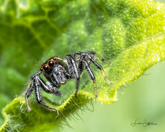Curious Jumping Spider (Lisa Saffell) Tags: insect jumpingspider macro spider