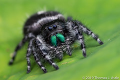 Bold Jumping Spider (Tom's Macro and Nature Photographs) Tags: macrophotography arachnids spiders salticids salticidae jumpingspiders phidippus phidippusaudax garden