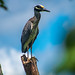 Yellow-Crowned Night Heron at Elm Lake