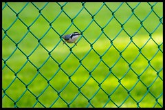 Being Neighbourly.   HFF (Note-ables by Lynn) Tags: nuthatch fence hff fencefriday canon