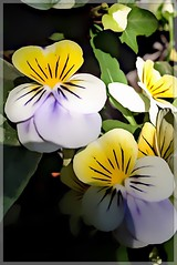 "My ""Johnny Jump Ups""! (Marcia Portess-Thanks for a million+ views.) Tags: flowers flores nature fleur yellow purple blossom map violas lanaturaleza marciaportess marciaaportess myjohnnyjumpups tricolor"
