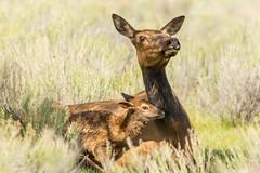 New life (ChicagoBob46) Tags: elk calf yellowstonenationalpark yellowstone nature wildlife cowelk cow elkcalf ngc coth5 naturethroughthelens specanimalphotooftheday npc