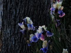 Spring Neon (Robert Cowlishaw (Mertonian)) Tags: dusk flowers tree beautiful beauty canon wonder evening powershot awe eveningstroll ineffable purpleneon mertonian robertcowlishaw canonpowershotsx70hs sx70hs 4sophia spring2019