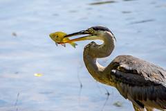 Gotcha! (agasfer) Tags: 2019 southcarolina greenville furman swanlake sony a6000 birds greatblueheron sonye456355210oss