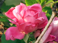 A Pink Rose. (dccradio) Tags: lumberton nc northcarolina robesoncounty outdoor outdoors outside nature natural flower floral flowers rose roses rosebush rosegarden flowergarden gardening foliage plant pretty beauty beautiful leaf leaves canon powershot elph hs may thursday thursdayevening evening goodevening pink pinkrose pinkroses