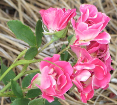 Small Cluster Of Roses. (dccradio) Tags: lumberton nc northcarolina robesoncounty outdoor outdoors outside nature natural flower floral flowers rose roses rosebush rosegarden flowergarden gardening foliage plant pretty beauty beautiful leaf leaves canon powershot elph hs may thursday thursdayevening evening goodevening pink pinkrose pinkroses mini miniature tearose minirose miniaturerose miniroses miniatureroses tearoses