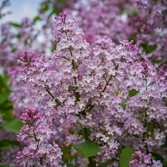 Fleurs 30 Mai-3 (Erik Bay) Tags: fleurs printemps2019