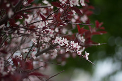 Dark Blossoms (150/365) (lacygentlywaftingcurtains) Tags: 365 cherryblossoms pink red flowers tree flowering bush