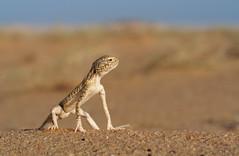 Arabian toad-headed agama in Qatar Desert طحيحي (معضاد) Tags: blue arabian toadheaded agama طحيحي الطحن العربي معضاد lesnafi