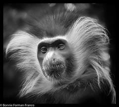 20190529-COLOBUS MONKEY- BRONX ZOO_D85_1041 (Bonnie Forman-Franco) Tags: newyork zoo monkey nikon bronx bronxzoo cagedanimals newyorklandmark cagedwildlife nikonphotography nikon80400 angolancolobusmonkey nikond850 newyorkbronxzoo nikond750 photoladybon blackandwhite wildlifephotographer blackandwhitephotography zoolife animalphotography nonhdr zoophotography animalphotographer longislandphotographer photographybywomen