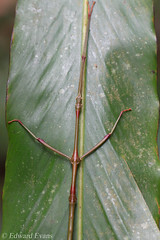 Stick insect (Phasmatodea) (edward.evans) Tags: phasmatodea insect invert invertebrate stickinsect borneo malaysia asia forest rainforest nature wildlife sarawak santubongpeninsula santubong mtsantubong santubongnationalpark animal fauna phasmid