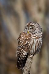 Demure (rob.wallace) Tags: spring2019shenandoahnationalparkbarredowlraptor barred owl raptor birds prey