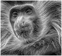 20190529-COLOBUS MONKEY- BRONX ZOO_D85_1042 (Bonnie Forman-Franco) Tags: bronxzoo bronx newyorklandmark newyork newyorkbronxzoo monkey nikon photoladybon nikonphotography nikond850 nikon80400 cagedwildlife cagedanimals zoo zoophotography zoolife longislandphotographer photographybywomen animalphotographer animalphotography blackandwhite blackandwhitephotography wildlifephotographer nonhdr nik niksoftware